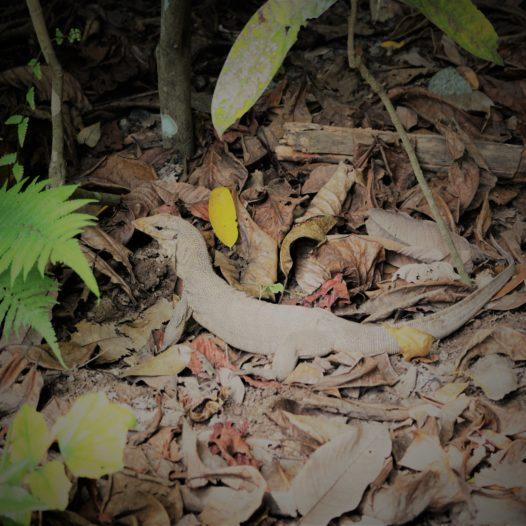 Lizard auf Pulau Ubin